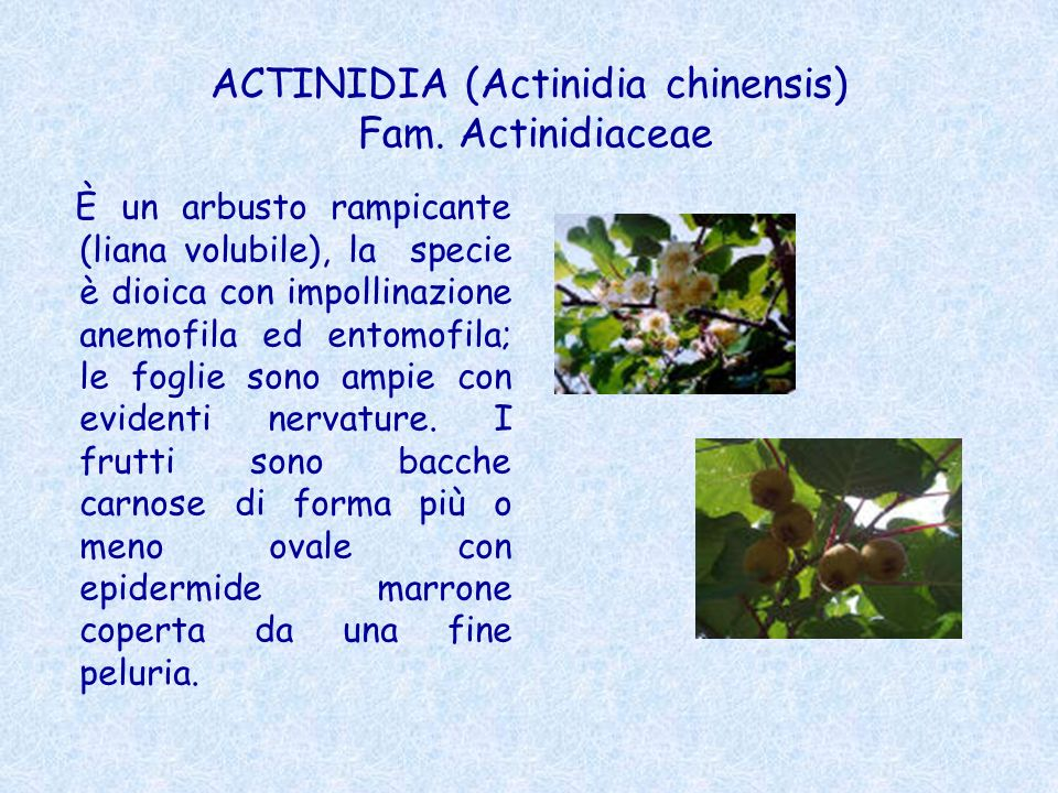 ACTINIDIA (Actinidia chinensis) Fam. Actinidiaceae