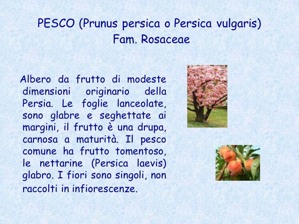 PESCO (Prunus persica o Persica vulgaris) Fam. Rosaceae