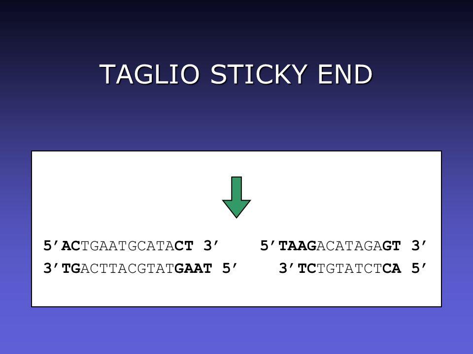 TAGLIO STICKY END 5'ACTGAATGCATACT 3' 5'TAAGACATAGAGT 3'