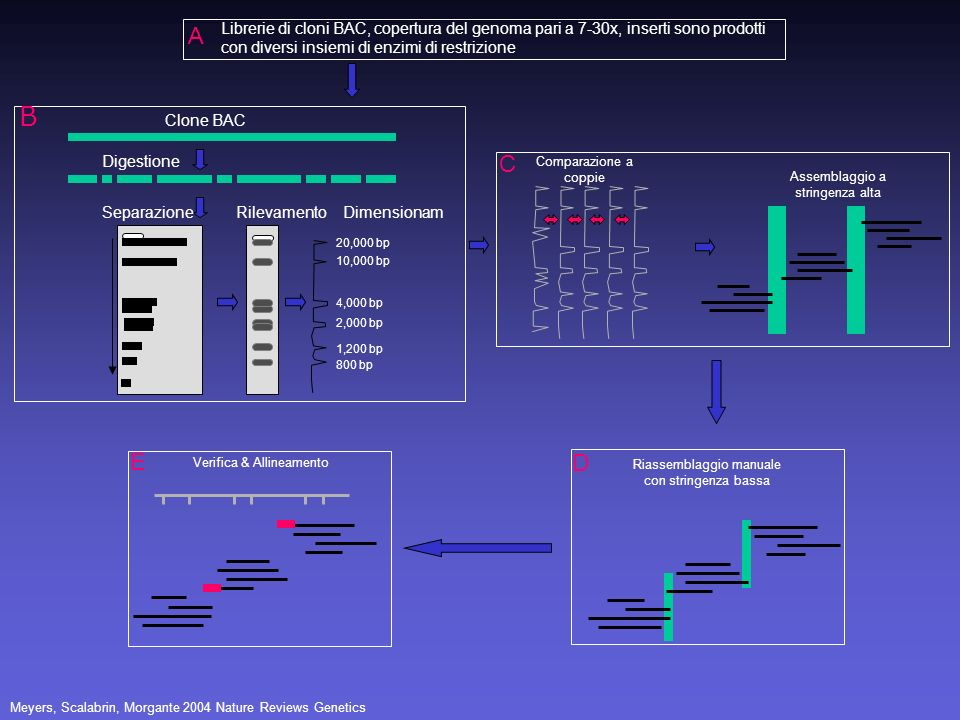 A Librerie di cloni BAC, copertura del genoma pari a 7-30x, inserti sono prodotti con diversi insiemi di enzimi di restrizione.