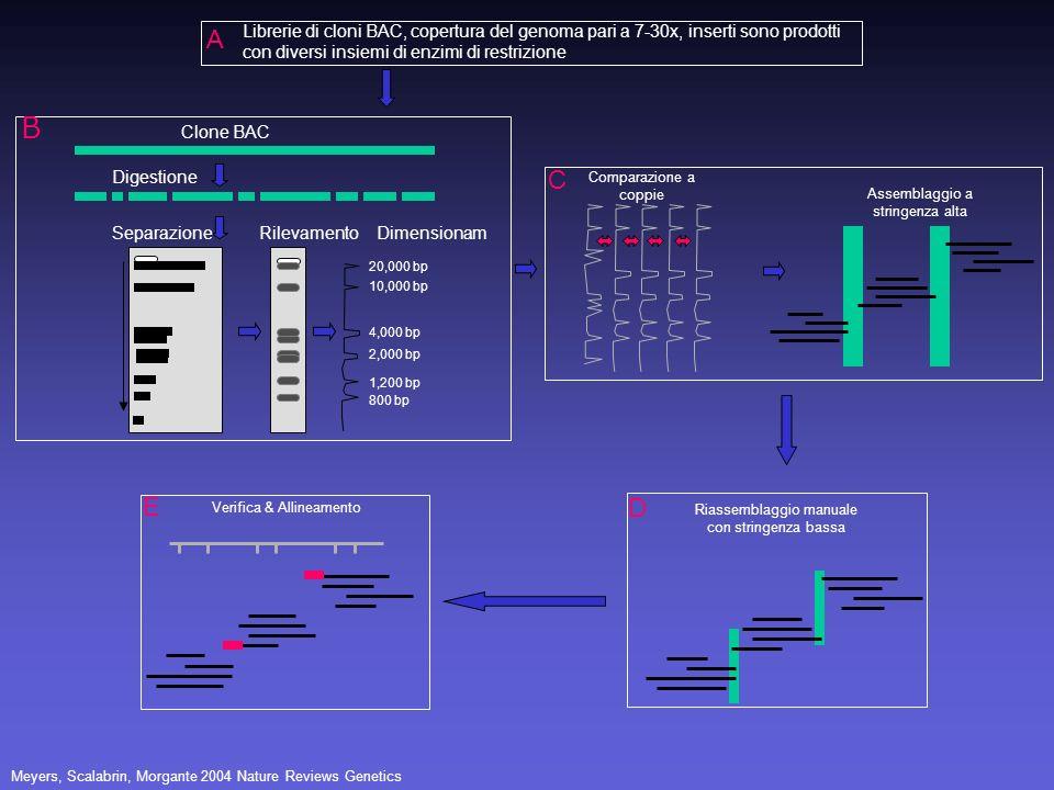 ALibrerie di cloni BAC, copertura del genoma pari a 7-30x, inserti sono prodotti con diversi insiemi di enzimi di restrizione.