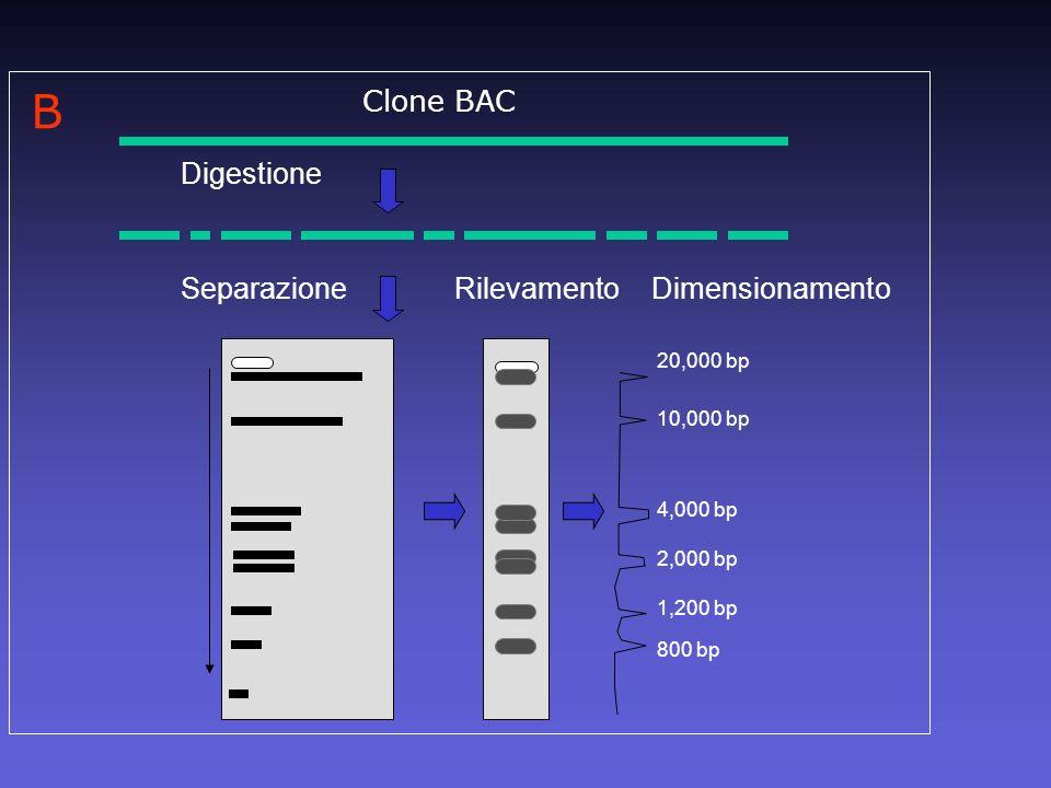 B Clone BAC Digestione Separazione Rilevamento 20,000 bp 10,000 bp