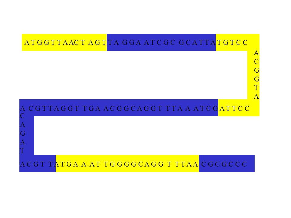 AC. G. T. A T G G T T A AC T A G T T A G G A A T C G C G C A T T A T G T C C.