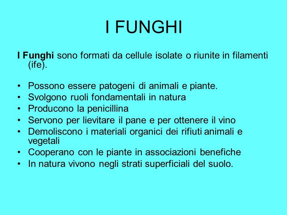I FUNGHII Funghi sono formati da cellule isolate o riunite in filamenti (ife). Possono essere patogeni di animali e piante.