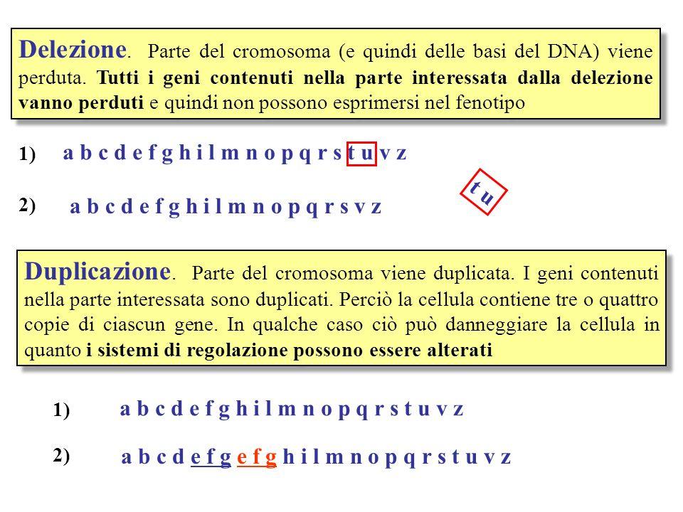 Delezione. Parte del cromosoma (e quindi delle basi del DNA) viene perduta. Tutti i geni contenuti nella parte interessata dalla delezione vanno perduti e quindi non possono esprimersi nel fenotipo