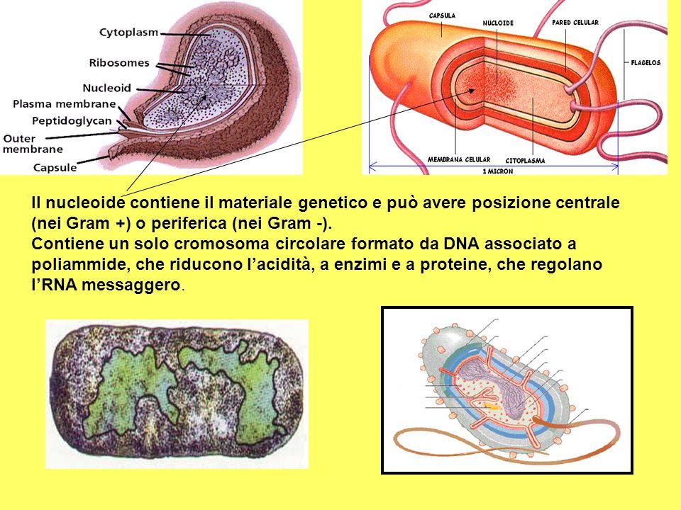Il nucleoide contiene il materiale genetico e può avere posizione centrale (nei Gram +) o periferica (nei Gram -).