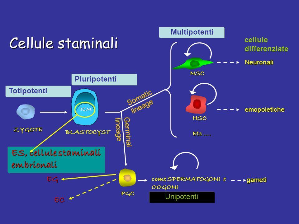 Cellule staminali ES, cellule staminali embrionali EG EC Multipotenti