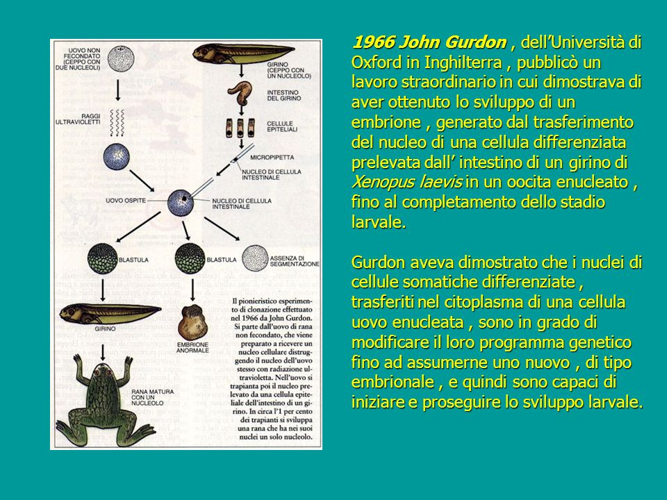 1966 John Gurdon , dell'Università di Oxford in Inghilterra , pubblicò un lavoro straordinario in cui dimostrava di aver ottenuto lo sviluppo di un embrione , generato dal trasferimento del nucleo di una cellula differenziata prelevata dall' intestino di un girino di Xenopus laevis in un oocita enucleato , fino al completamento dello stadio larvale.