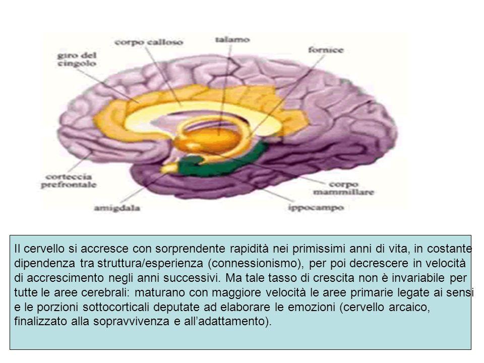 Il cervello si accresce con sorprendente rapidità nei primissimi anni di vita, in costante