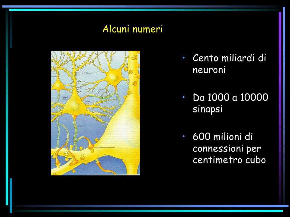 Alcuni numeri Cento miliardi di neuroni. Da 1000 a 10000 sinapsi.