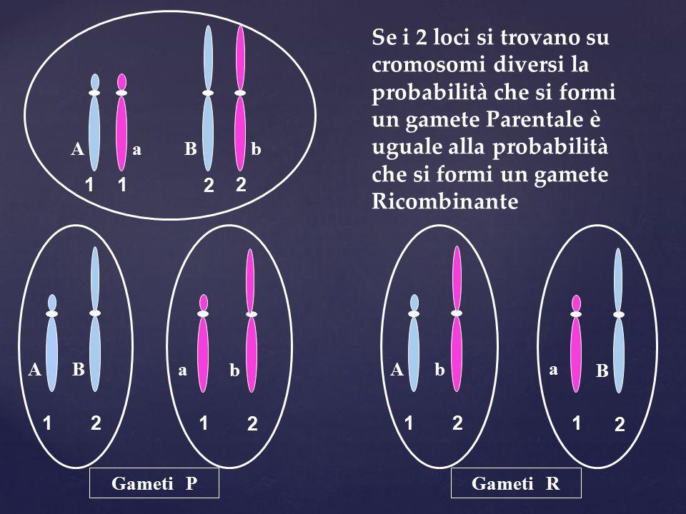 Se i 2 loci si trovano su cromosomi diversi la probabilità che si formi un gamete Parentale è uguale alla probabilità che si formi un gamete Ricombinante