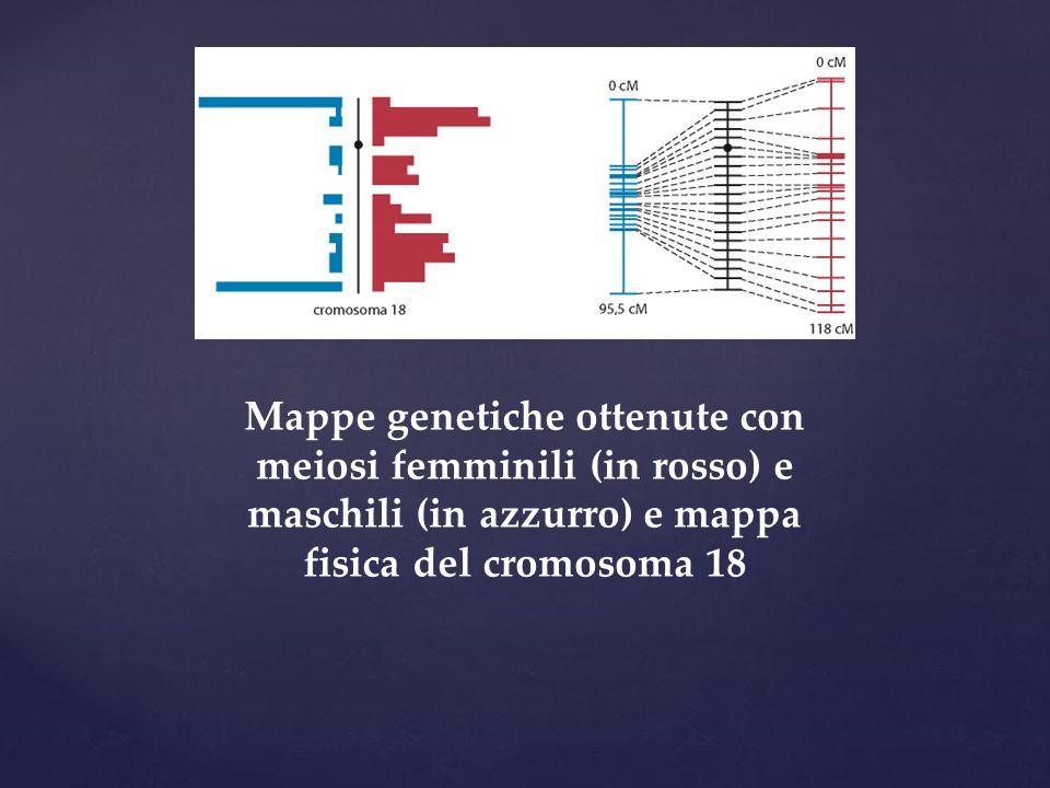 Mappe genetiche ottenute con meiosi femminili (in rosso) e maschili (in azzurro) e mappa fisica del cromosoma 18