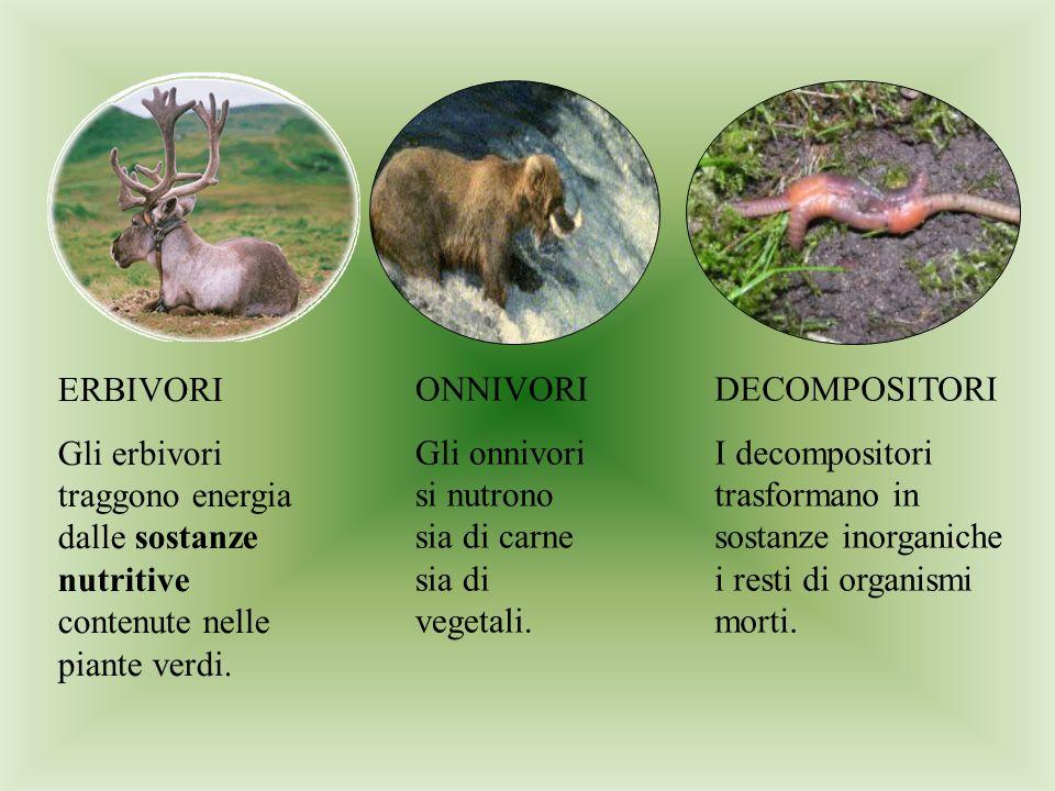 ERBIVORI Gli erbivori traggono energia dalle sostanze nutritive contenute nelle piante verdi. ONNIVORI.