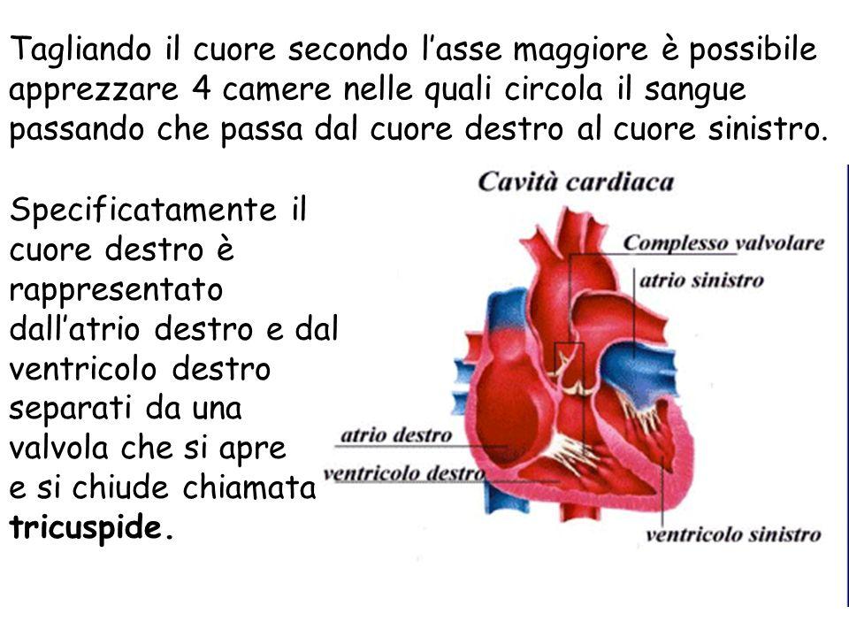 Tagliando il cuore secondo l'asse maggiore è possibile apprezzare 4 camere nelle quali circola il sangue passando che passa dal cuore destro al cuore sinistro.