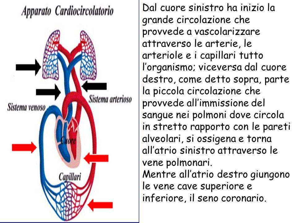 Dal cuore sinistro ha inizio la grande circolazione che provvede a vascolarizzare attraverso le arterie, le arteriole e i capillari tutto l'organismo; viceversa dal cuore destro, come detto sopra, parte la piccola circolazione che provvede all'immissione del sangue nei polmoni dove circola in stretto rapporto con le pareti alveolari, si ossigena e torna all'atrio sinistro attraverso le vene polmonari.