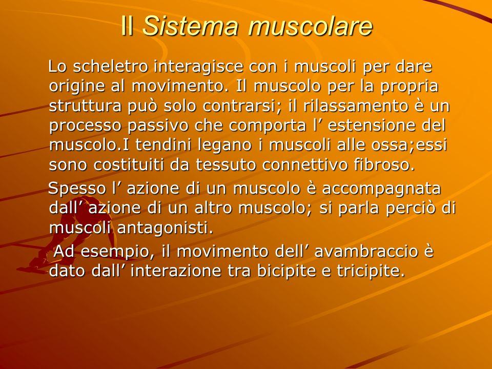 Il Sistema muscolare