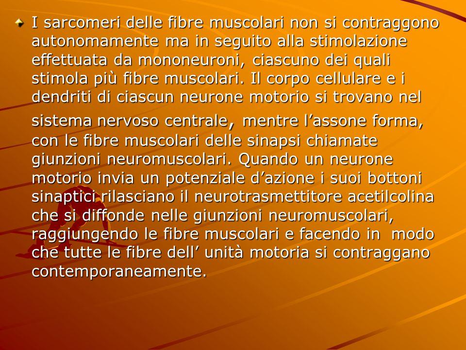 I sarcomeri delle fibre muscolari non si contraggono autonomamente ma in seguito alla stimolazione effettuata da mononeuroni, ciascuno dei quali stimola più fibre muscolari.