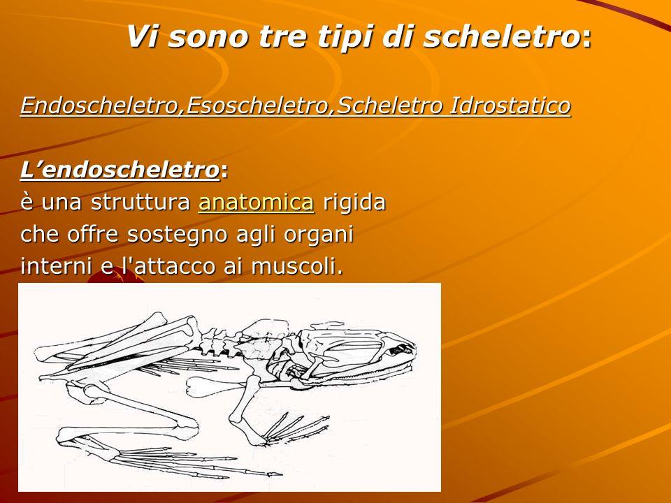 Vi sono tre tipi di scheletro: