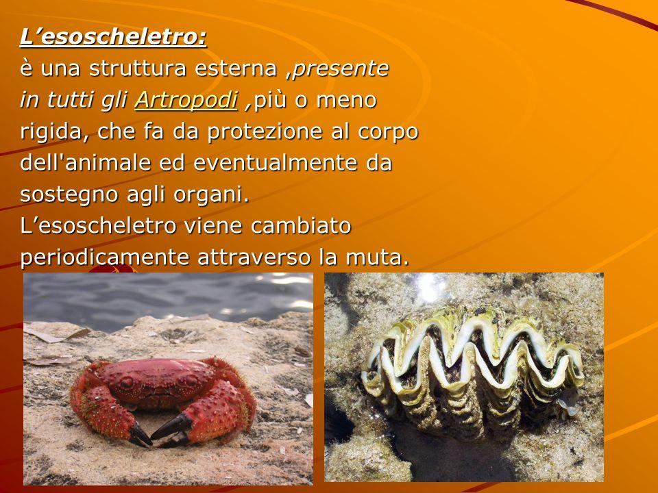 L'esoscheletro: è una struttura esterna ,presente. in tutti gli Artropodi ,più o meno. rigida, che fa da protezione al corpo.