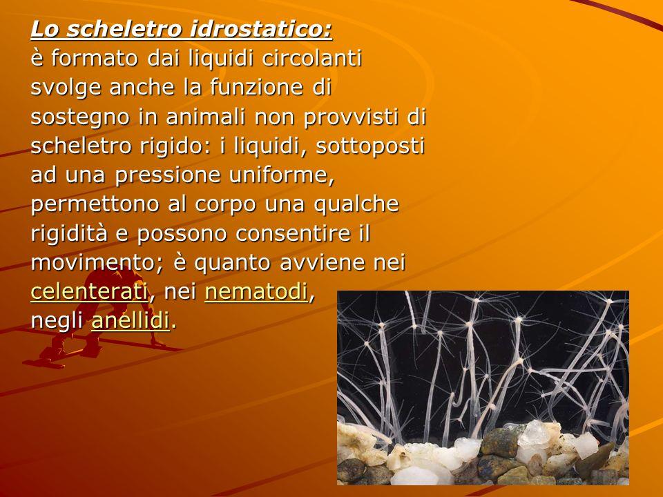 Lo scheletro idrostatico: