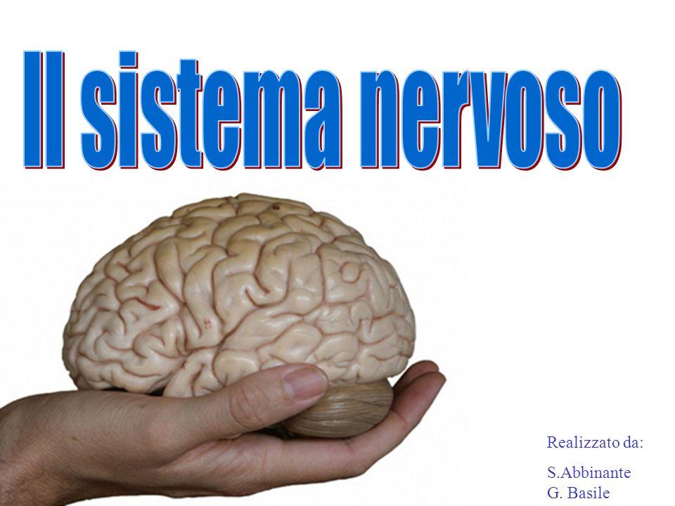 Il sistema nervoso Realizzato da: S.Abbinante G. Basile