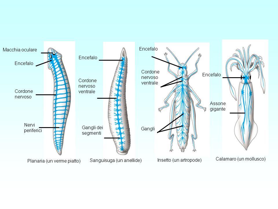 Macchia oculare Encefalo. Cordone. nervoso. Nervi. periferici. ventrale. Gangli dei segmenti.