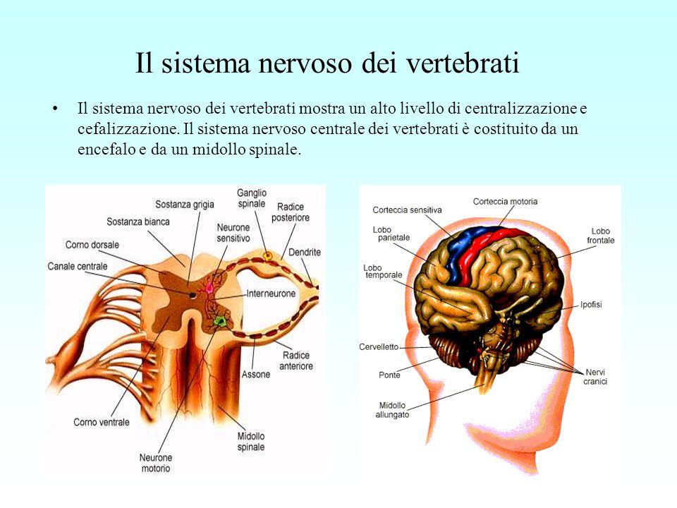 Il sistema nervoso dei vertebrati
