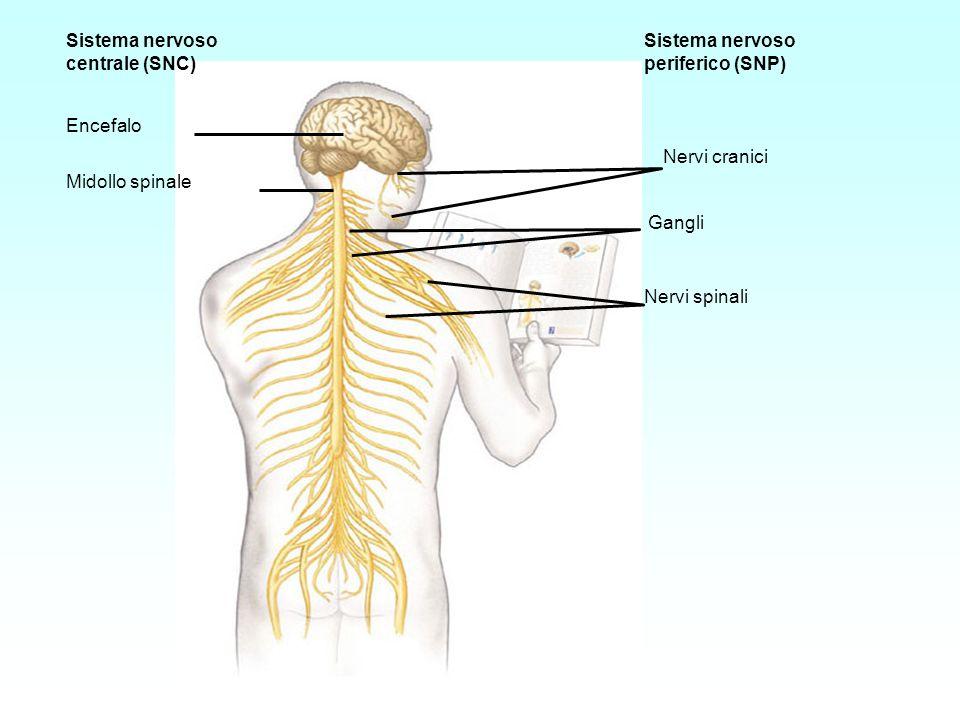 Sistema nervoso centrale (SNC) Encefalo. Midollo spinale. periferico (SNP) Nervi cranici. Gangli.