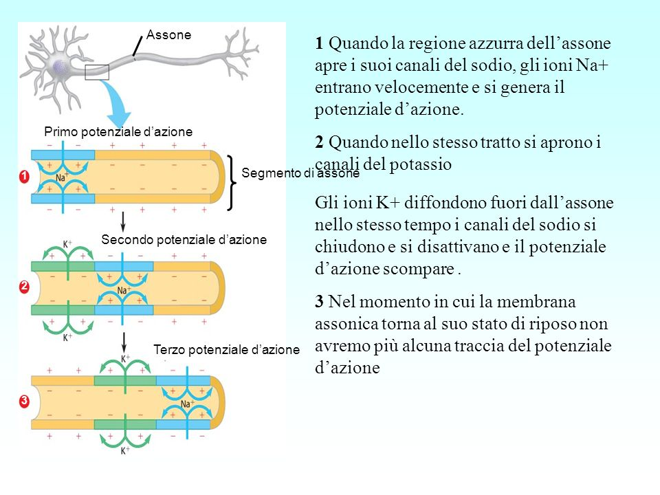2 Quando nello stesso tratto si aprono i canali del potassio