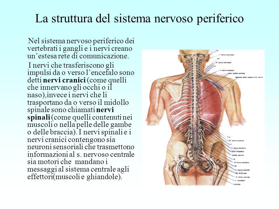 La struttura del sistema nervoso periferico