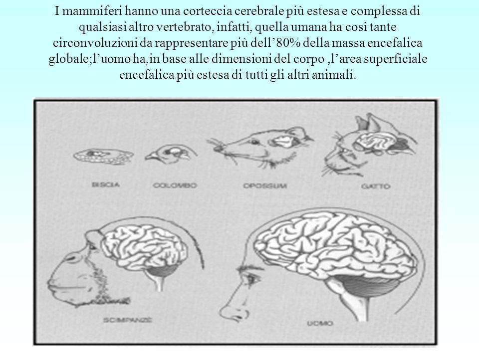 I mammiferi hanno una corteccia cerebrale più estesa e complessa di qualsiasi altro vertebrato, infatti, quella umana ha così tante circonvoluzioni da rappresentare più dell'80% della massa encefalica globale;l'uomo ha,in base alle dimensioni del corpo ,l'area superficiale encefalica più estesa di tutti gli altri animali.