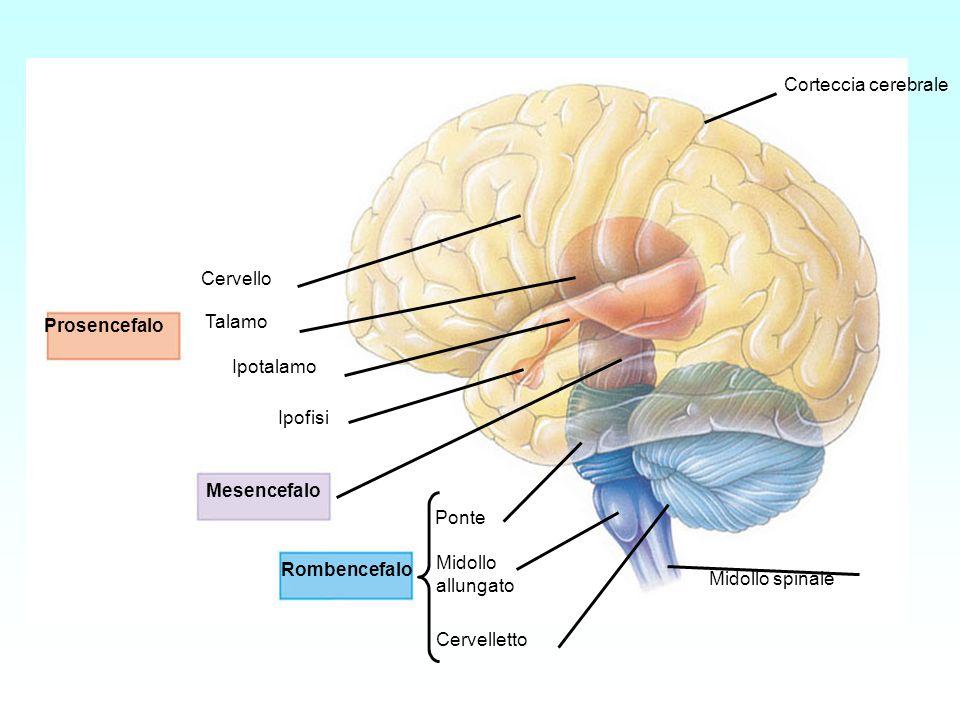 Prosencefalo Mesencefalo. Rombencefalo. Cervello. Talamo. Ipotalamo. Ipofisi. Ponte. Midollo.