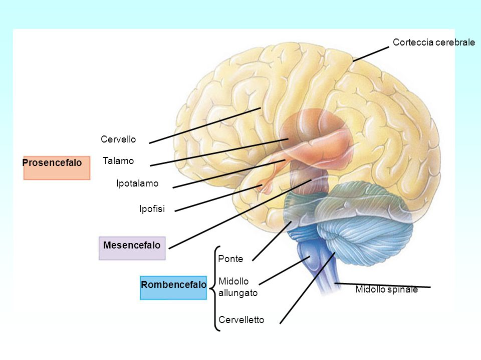 ProsencefaloMesencefalo. Rombencefalo. Cervello. Talamo. Ipotalamo. Ipofisi. Ponte. Midollo. allungato.