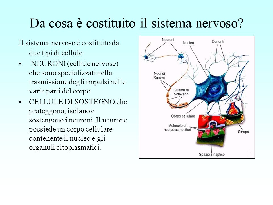 Da cosa è costituito il sistema nervoso