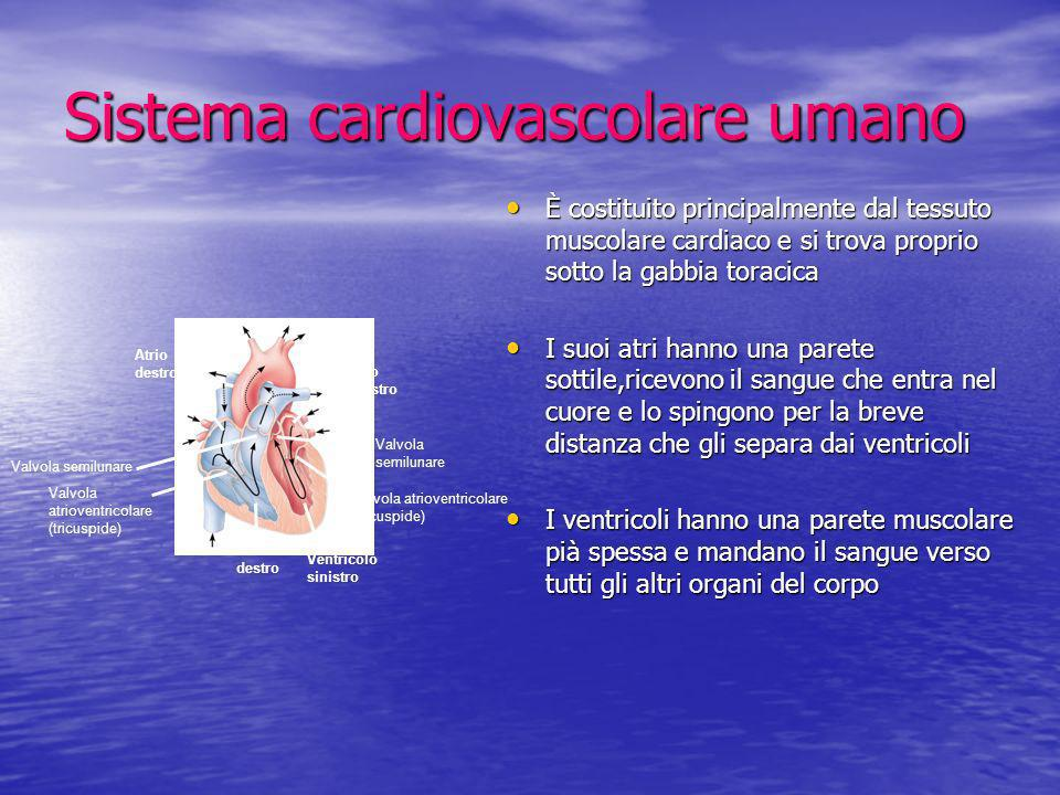 Sistema cardiovascolare umano