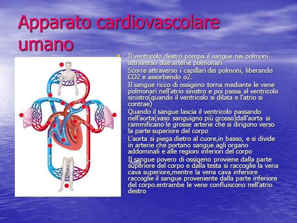 Apparato cardiovascolare umano