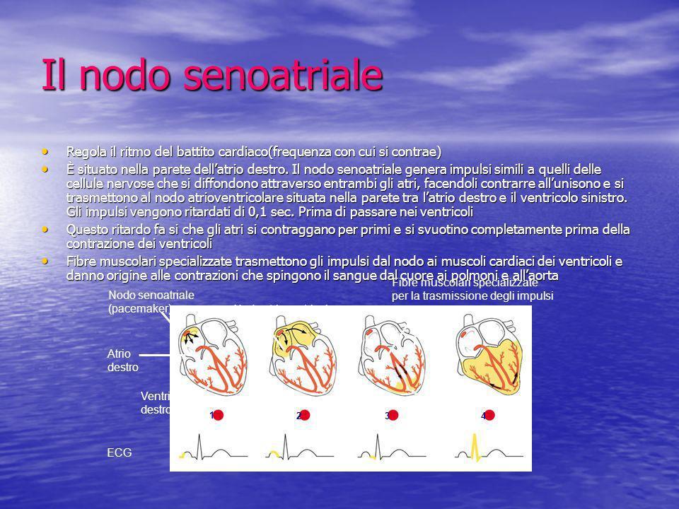 Il nodo senoatriale Regola il ritmo del battito cardiaco(frequenza con cui si contrae)
