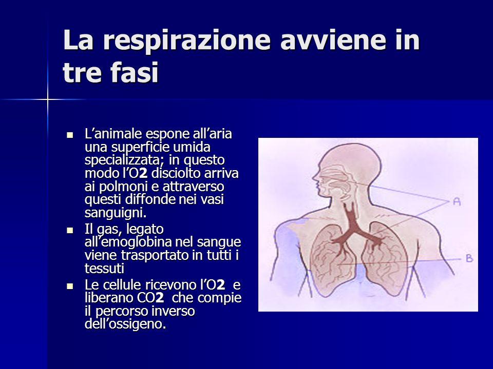 La respirazione avviene in tre fasi