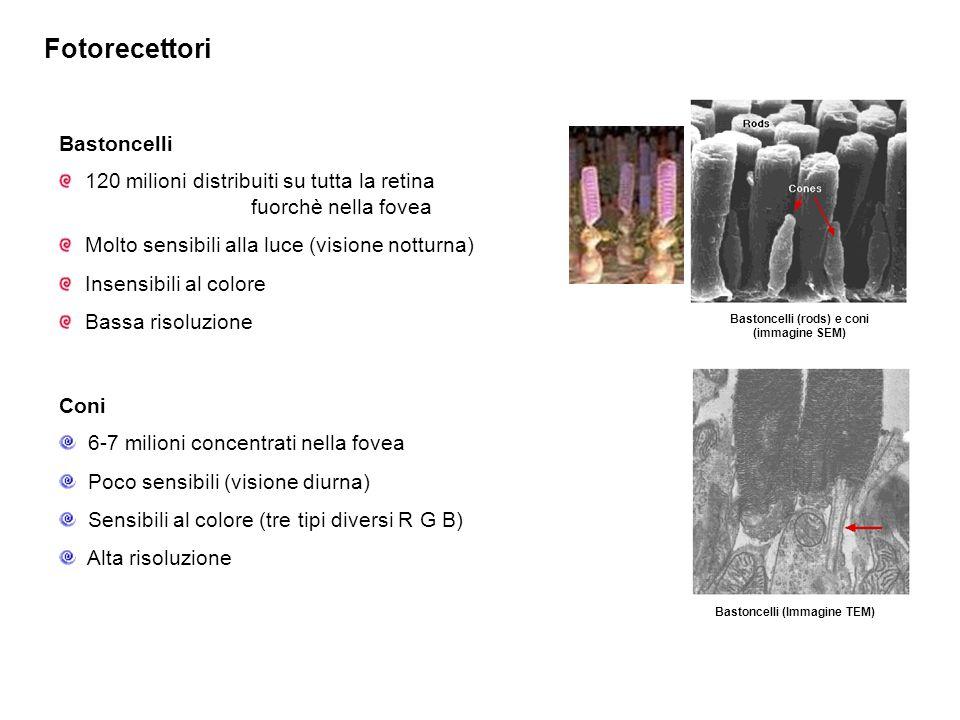Bastoncelli (rods) e coni (immagine SEM)
