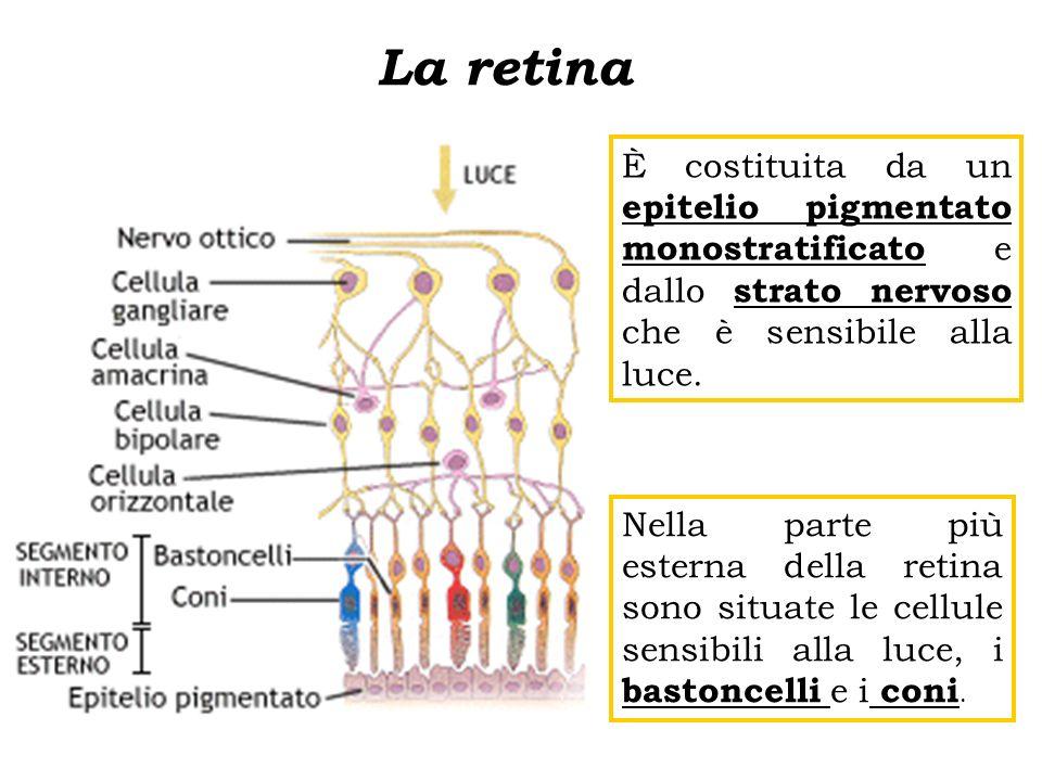 La retina È costituita da un epitelio pigmentato monostratificato e dallo strato nervoso che è sensibile alla luce.