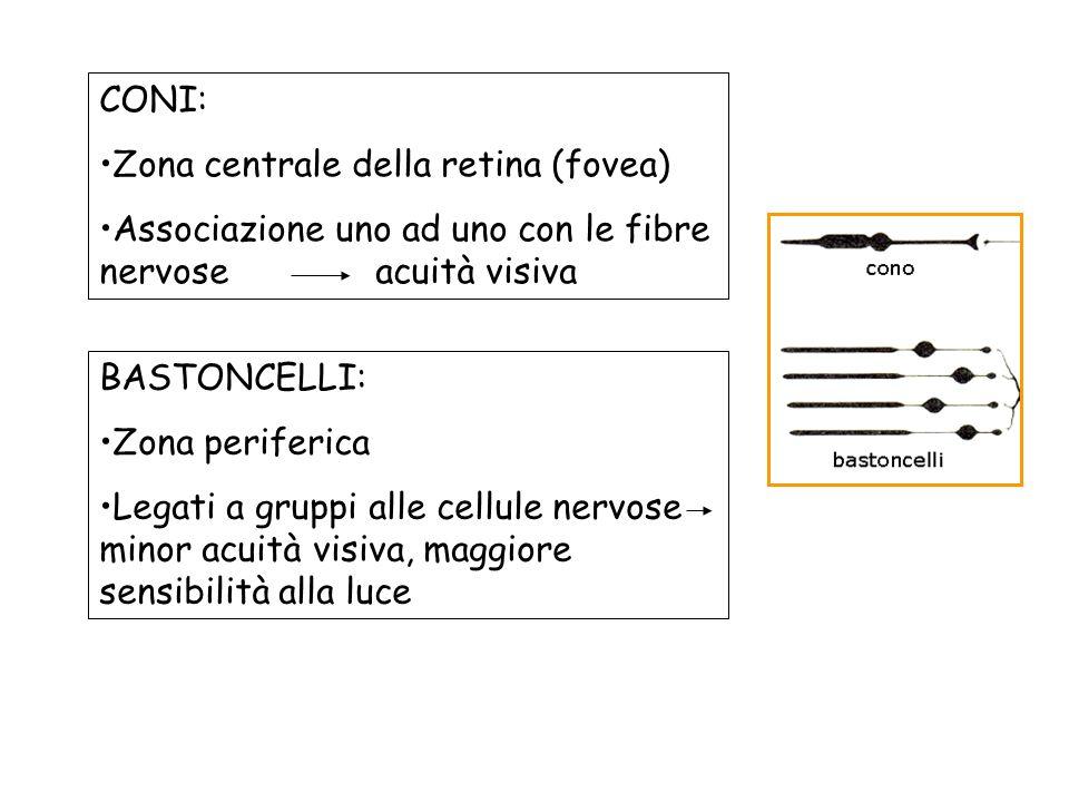 CONI: Zona centrale della retina (fovea) Associazione uno ad uno con le fibre nervose acuità visiva.