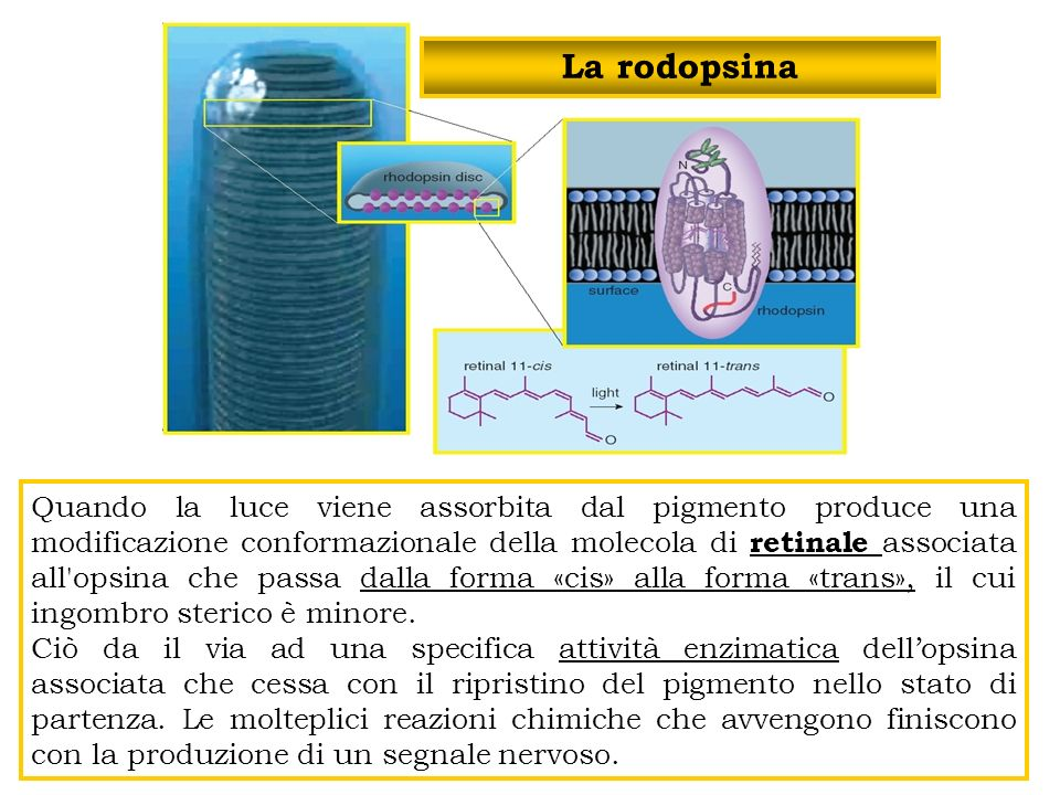La rodopsina