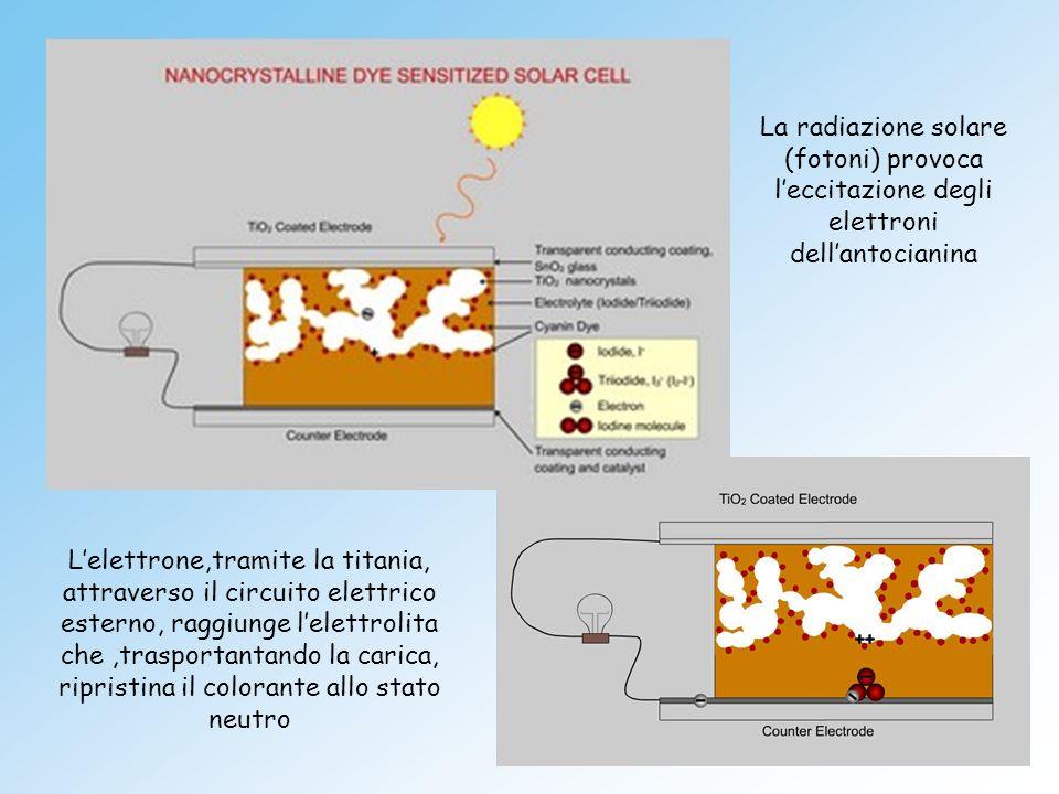 La radiazione solare (fotoni) provoca l'eccitazione degli elettroni dell'antocianina