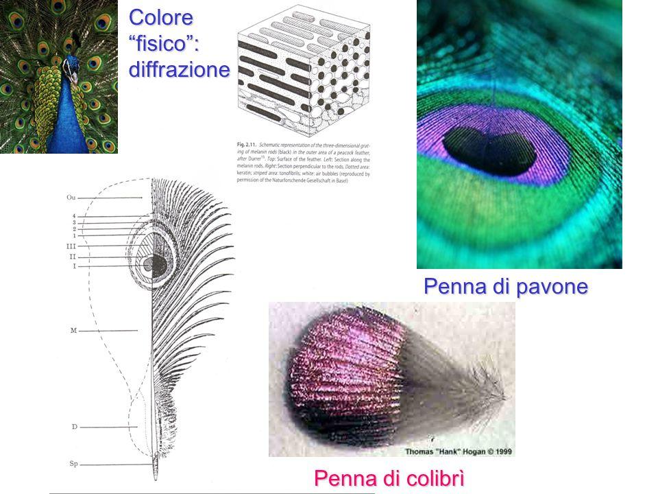Colore fisico : diffrazione Penna di pavone Penna di colibrì