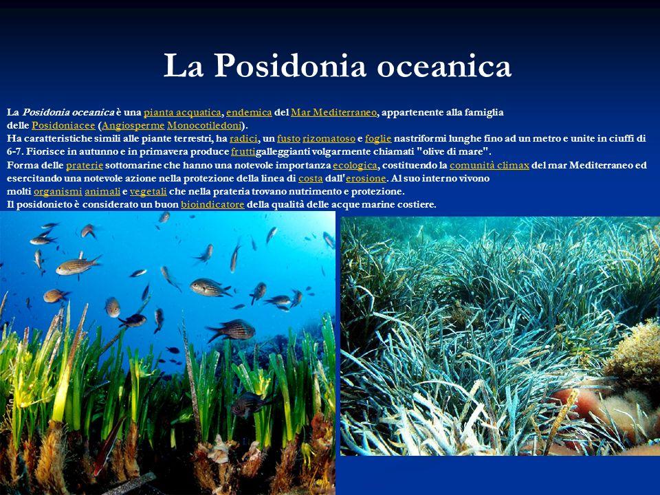 La Posidonia oceanica