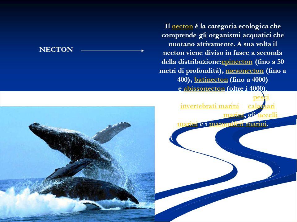 Il necton è la categoria ecologica che comprende gli organismi acquatici che nuotano attivamente. A sua volta il necton viene diviso in fasce a seconda della distribuzione:epinecton (fino a 50 metri di profondità), mesonecton (fino a 400), batinecton (fino a 4000) e abissonecton (oltre i 4000).