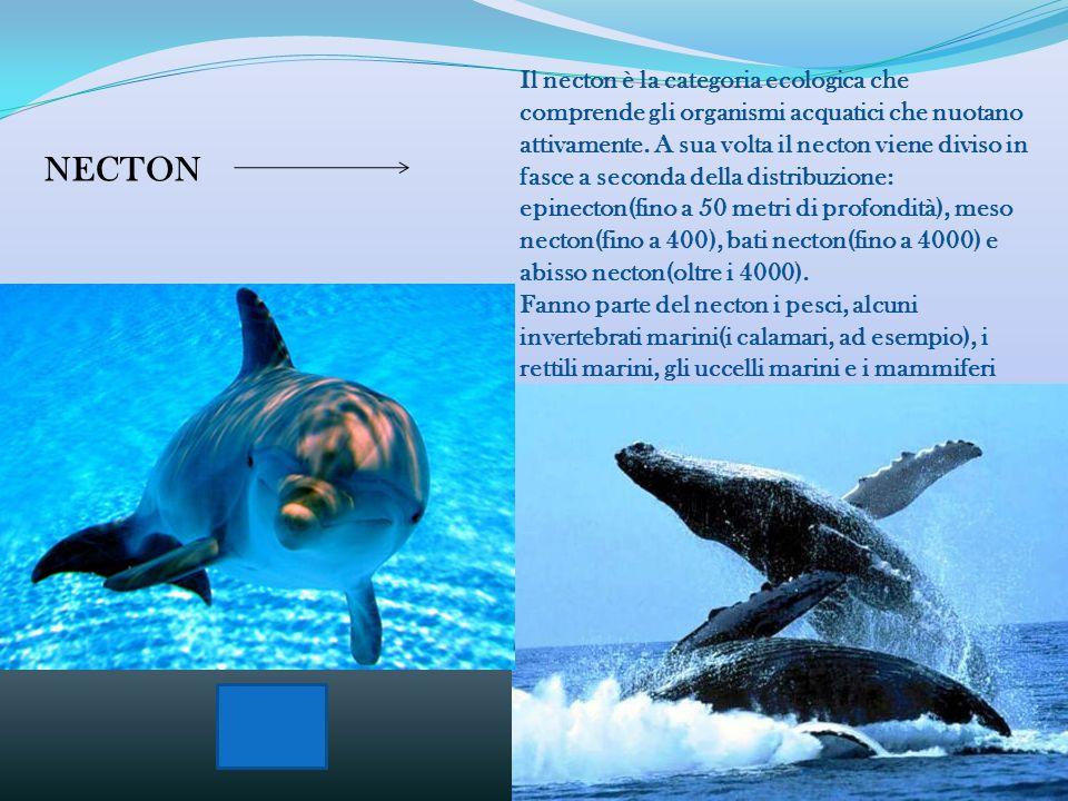 Il necton è la categoria ecologica che comprende gli organismi acquatici che nuotano attivamente. A sua volta il necton viene diviso in fasce a seconda della distribuzione: epinecton(fino a 50 metri di profondità), meso necton(fino a 400), bati necton(fino a 4000) e abisso necton(oltre i 4000).