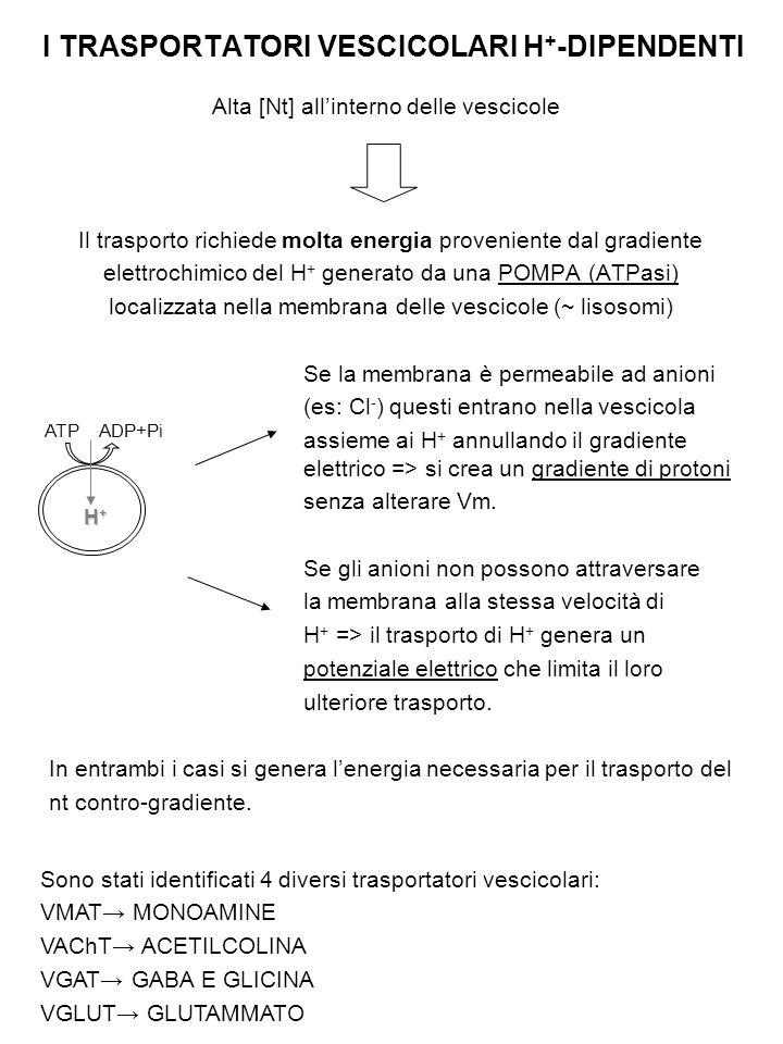 I TRASPORTATORI VESCICOLARI H+-DIPENDENTI