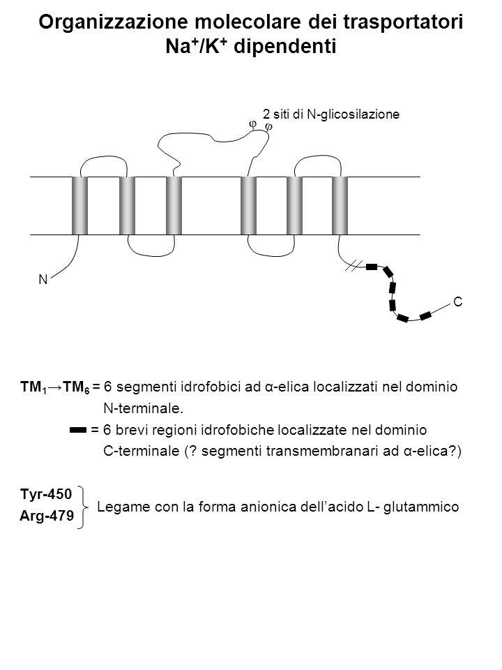 Organizzazione molecolare dei trasportatori Na+/K+ dipendenti