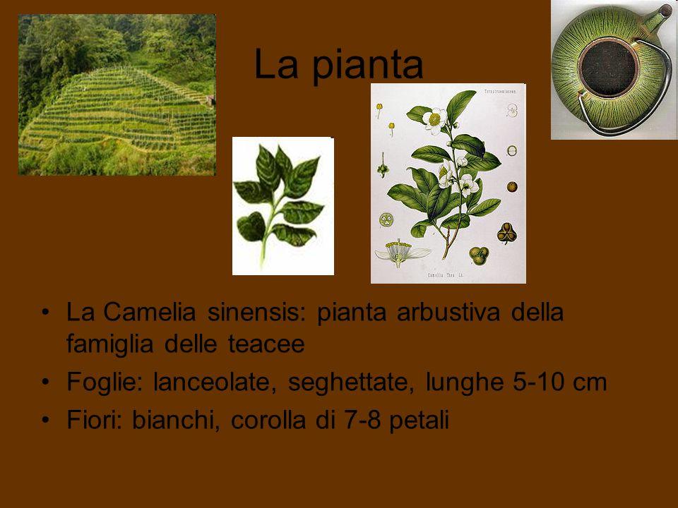 La pianta La Camelia sinensis: pianta arbustiva della famiglia delle teacee. Foglie: lanceolate, seghettate, lunghe 5-10 cm.